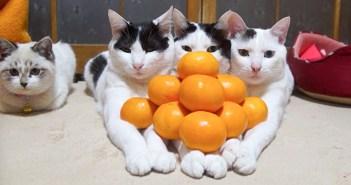 みかんピラミッドと猫