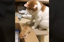 子猫を箱に入れる母猫