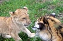 ライオンとトラの赤ちゃん