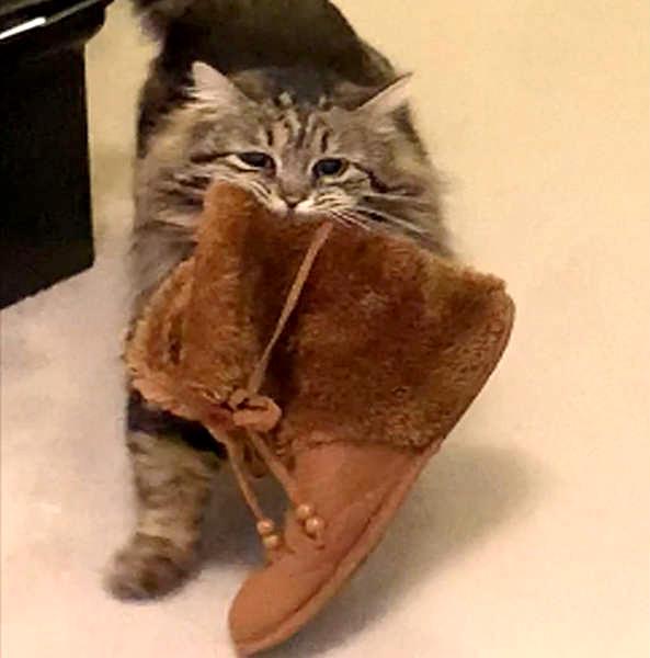 靴を持ってくる猫