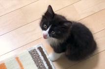 コケコッコーと鳴く子猫
