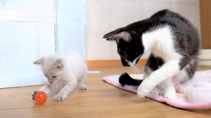 子猫に手本を見せる先輩猫