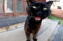 撫でられて鳴く黒猫