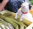猫と秋田蕗の塩漬け作り