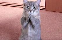 腹ペコアピールする猫