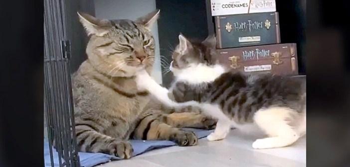 大好きな先輩猫に果敢に戦いを挑む子猫。がむしゃらに連続猫パンチを繰り出すも、先輩猫の一撃であえなく撃沈 ( *´艸`)♡