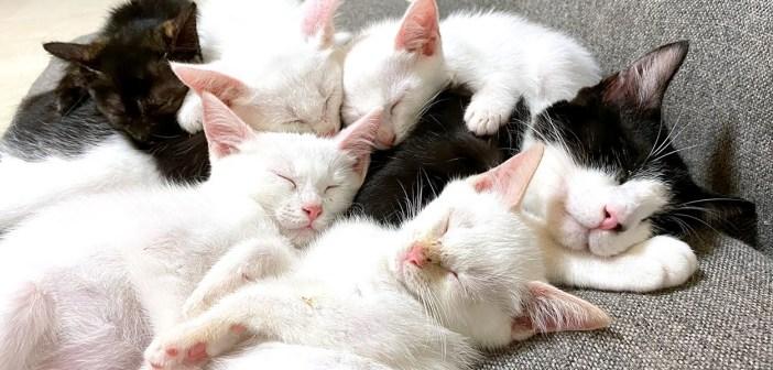 一緒に眠る猫と子猫達