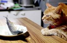 サンマを見つめる猫
