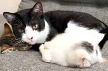 子猫を寝かしつける猫