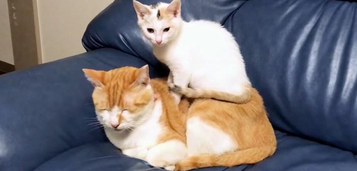 なぜか先住猫の上に乗りたがる子猫。ピタッと動かなくなって、ふたりで一緒に眠り始める様子が可愛すぎる ( *´艸`)♡
