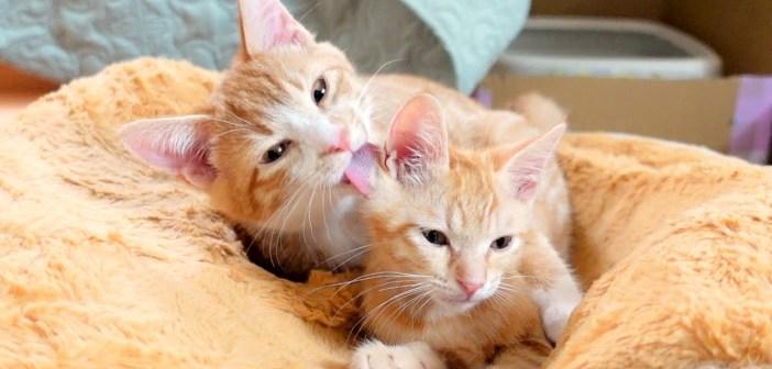 毛づくろいする子猫
