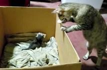 子猫の引っ越しをする母猫