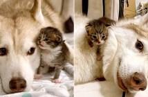 ハスキーと子猫