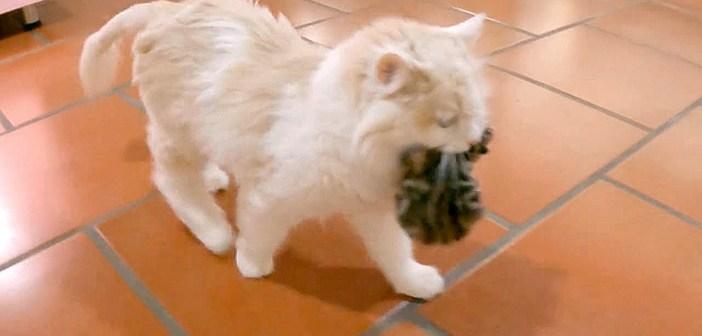 「よいしょ、よいしょ」子猫達を新しい家にお引越しさせる母猫♪ 子猫達を咥えて次々と運んでいく姿がとっても可愛い♡