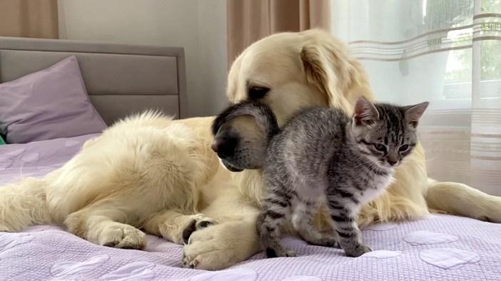 犬に擦り寄る子猫