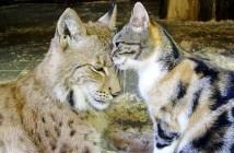 仲良しなオオヤマネコと猫