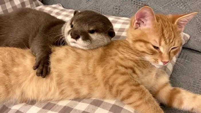 カワウソと子猫