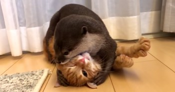 じゃれ合う子猫とカワウソ