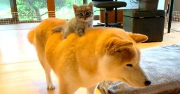 柴犬ライダーな子猫