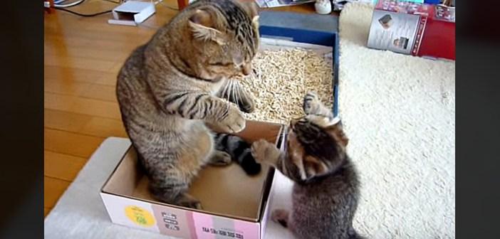 「ポカポカポカポカ!」と連続猫パンチを繰り出す子猫。それに対するお父さん猫の反応がとっても可愛かった ( *´艸`)♡