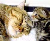 """「ねぇねぇ、お母さん」甘えん坊な子猫の """"かまって攻撃"""" で、お母さん猫の顔が大変なことに ( *´艸`)♡"""