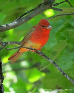 Summer Tanager - Juvenile