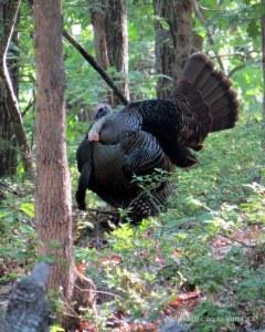 Tom the Turkey