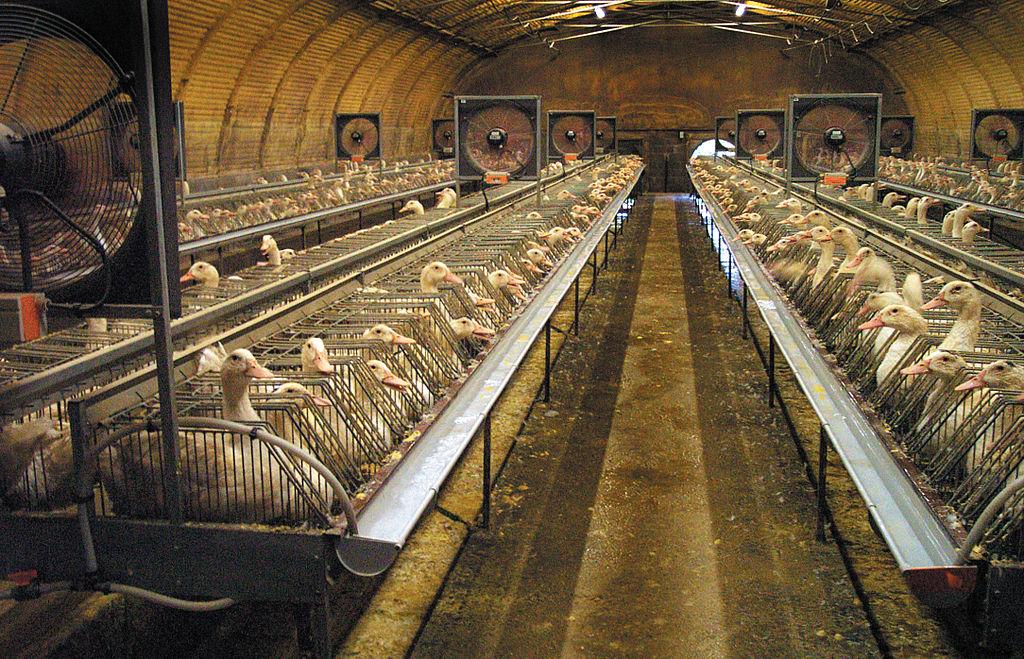 La diffrence entre le canard gras traditionnel et industriel