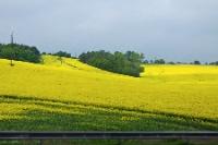 Желтые поля покрыли Чехию