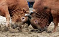 Бои быков остаются в законе