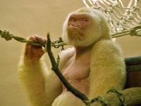 Испанские исследователи узнали секрет белой гориллы