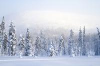 Сезон охоты за новогодними елками открывается в Финляндии