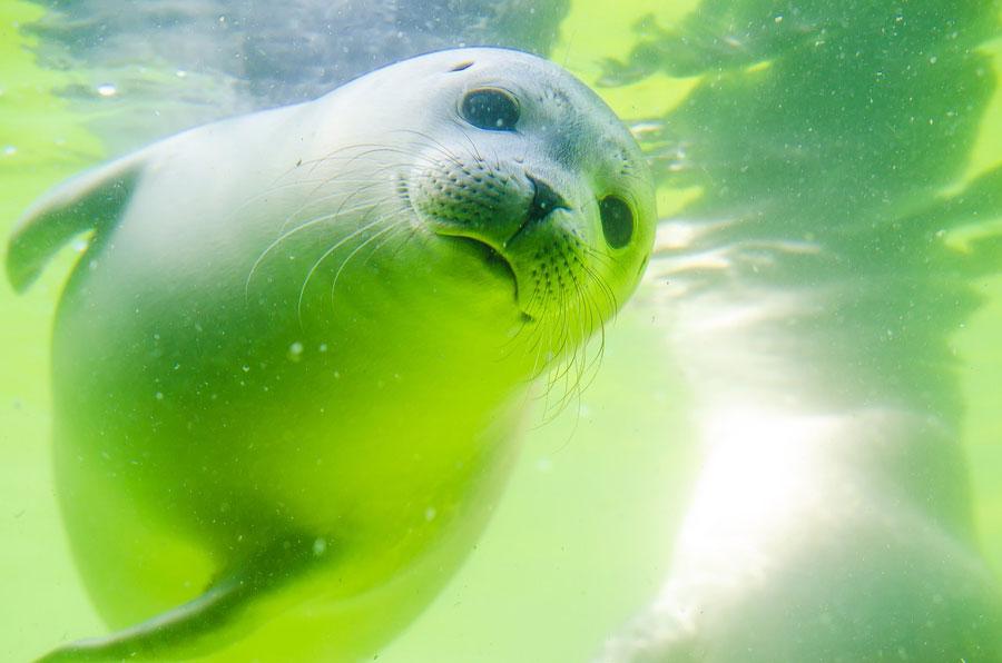 В Данию возвращаются тюлени, но рыбаки этому не рады