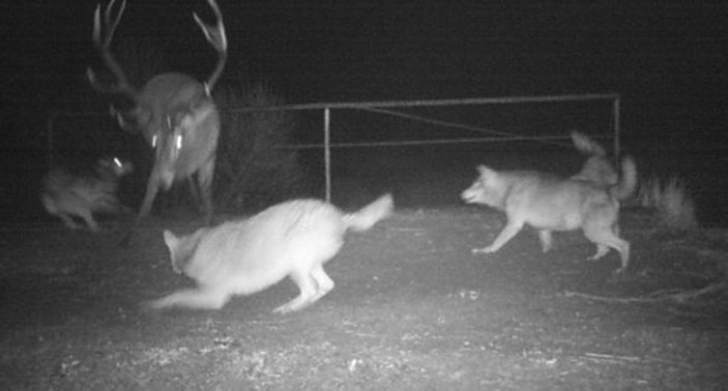 Wolves against a deer.