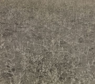 The grain harvest in the field in Ukraine ruined by the catastrophic drought of 1921. (Source: Fridtjof Nansen Photo Archive, National Library of Norway)