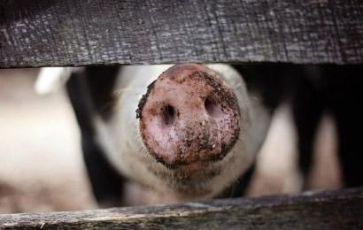Alerta en América: la peste porcina africana ha sido detectada en la República Dominicana