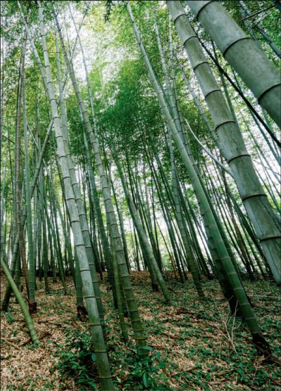 bamboo forest in eastern zhejiang province photos by zhang ...
