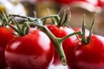 tomate de industria
