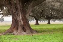 Oak holms, ilex in a mediterranean forest. Landscape in Extremadura center of Spain
