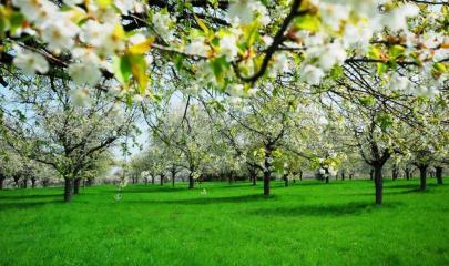 bigstock-Cherry-Blossom-26799374