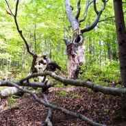 Viterbo Declaration for beech forests