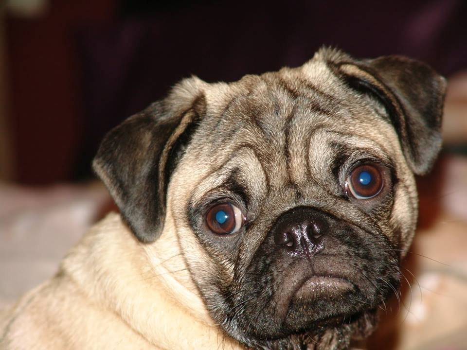 Pug Valli At Home And Outdoor Gifts For Pug Lovers