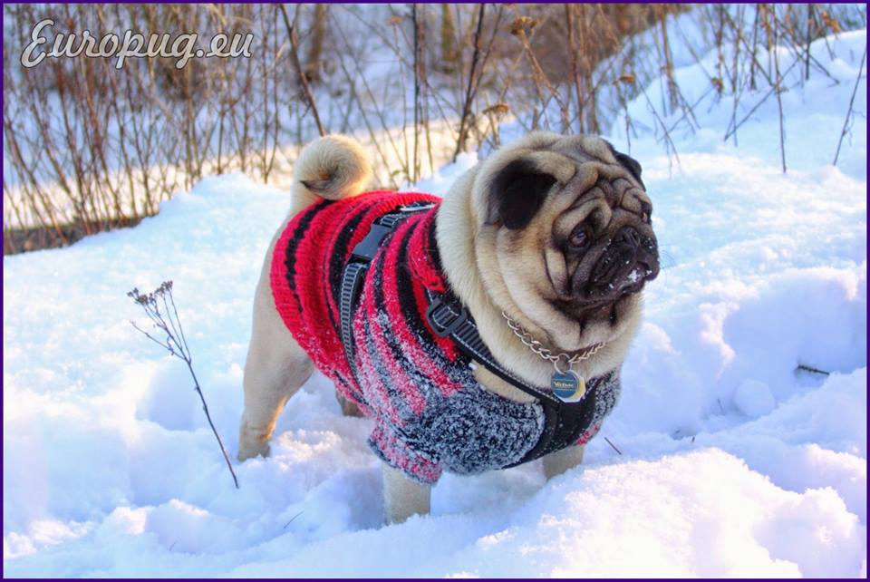 Frozen Pug Land  Gifts For Pug Lovers