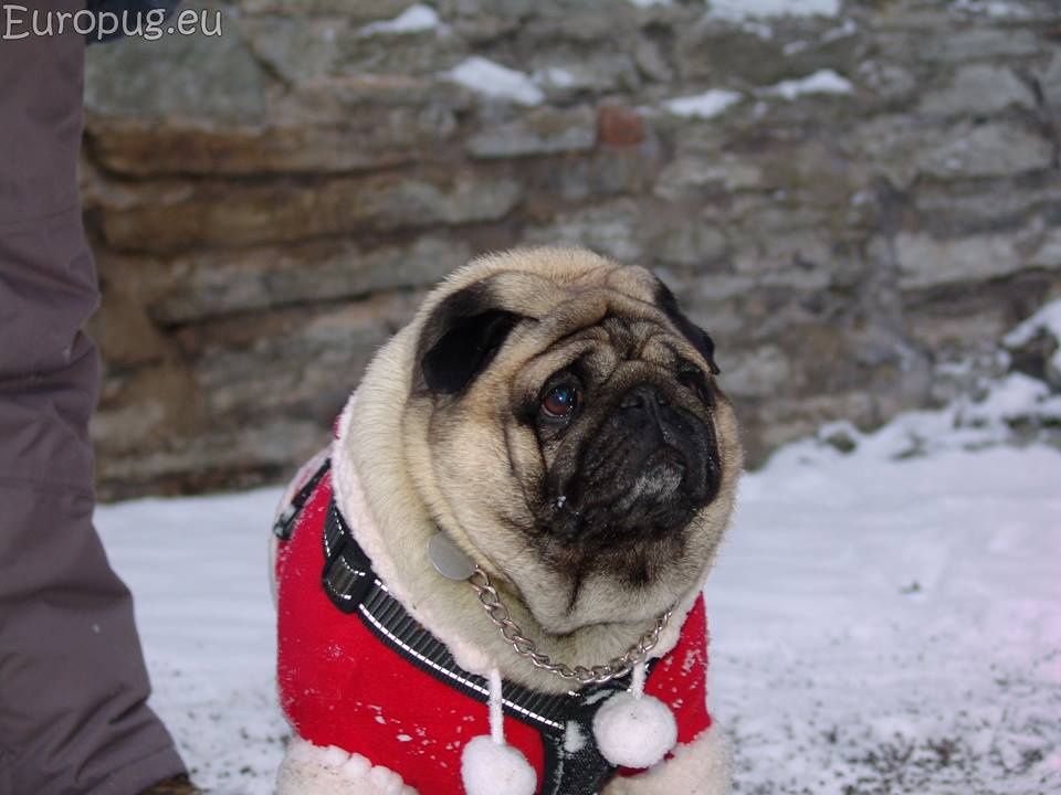 Our walk at the first day of Christmas  Gifts For Pug Lovers