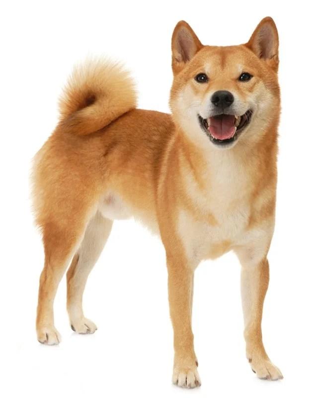 Shiba Inu | Adopt Dogs & Puppies Locally in Canada