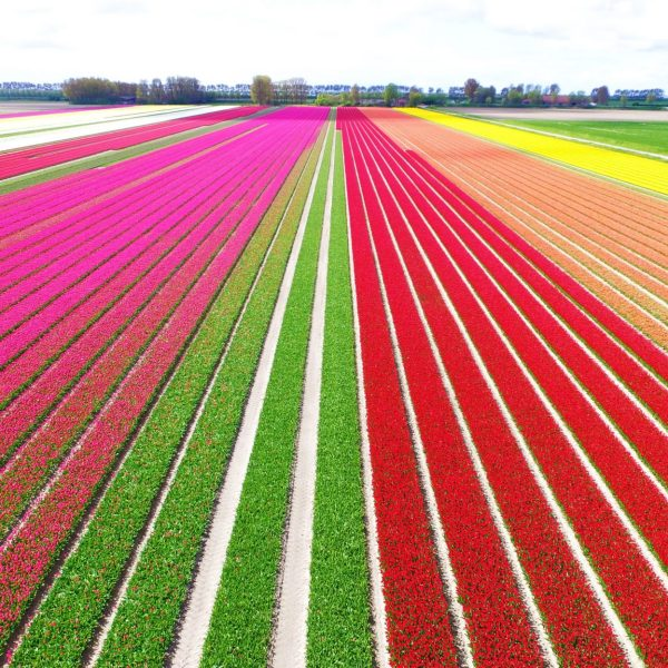 Tulip Fields in the Netherlands – When & Where (2020)