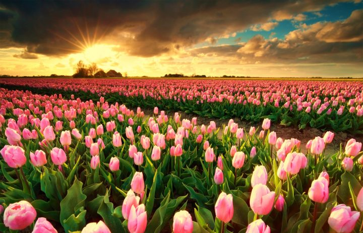 Tulip Fields in the Netherlands - When & Where (2019)