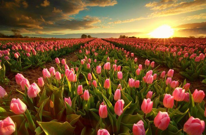 Campos de Tulipanes cerca de Lisse