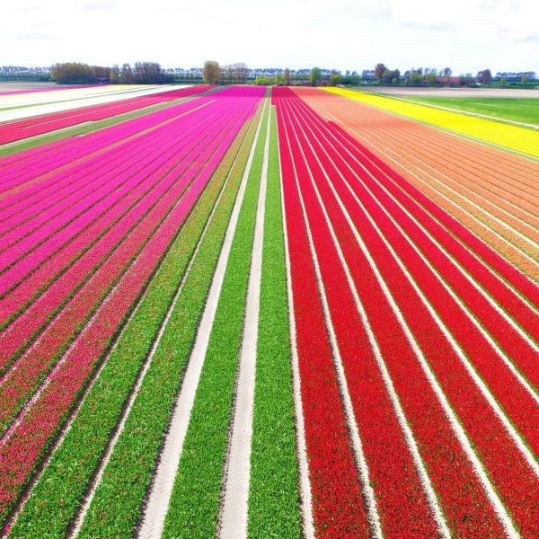 Cuándo y Dónde Ver los Campos de Tulipanes de Holanda (2020)
