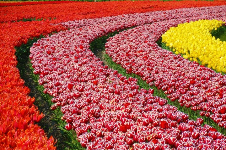 Campos de Tulipanes en plena Floración